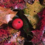 holly_leaves_with_red_berry_90